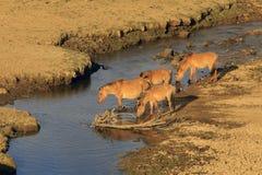Acqua della bevanda dei cavalli sul fiume Immagini Stock