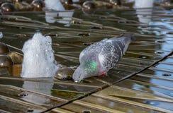 Acqua della bevanda del piccione nella fontana della città immagini stock