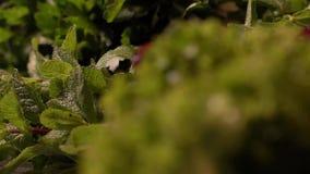 Acqua di caduta sulle foglie con le fragole su fondo video d archivio