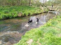 Acqua di camminata del cane di Labrador Fotografia Stock