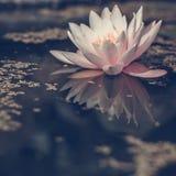 Acqua di fioritura lilly Fotografie Stock