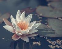 Acqua di fioritura lilly Fotografia Stock Libera da Diritti