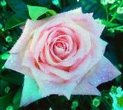 Acqua di goccia sulla rosa di rosa Fotografia Stock