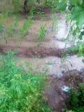 Acqua di pioggia nei campi verdi immagine stock