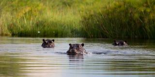 Acqua di salto dell'ippopotamo Immagini Stock