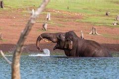 Acqua di sollevamento dell'elefante Fotografie Stock
