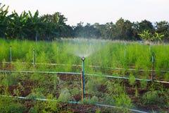 Acqua di Springer in asparago di agricoltura biologica. Fotografia Stock
