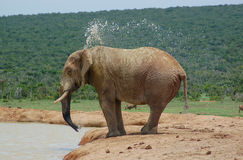 Acqua di spruzzatura dell'elefante Fotografia Stock Libera da Diritti