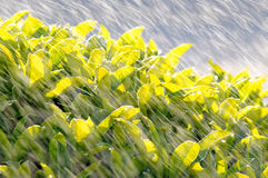 Acqua di spruzzatura sul cespuglio della vegetazione Immagine Stock Libera da Diritti