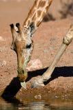 Acqua dringking della giraffa Immagini Stock