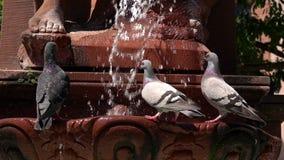 Acqua e piccione della fontana video d archivio