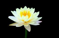 Acqua gialla lilly isolata su fondo nero Immagine Stock Libera da Diritti