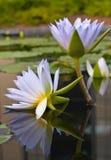 Acqua-gigli Fotografie Stock
