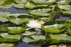 Acqua-giglio Fotografie Stock