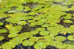 Acqua-giglio Fotografia Stock Libera da Diritti
