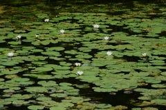 Acqua-giglio bianco Fotografia Stock