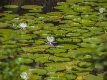 Acqua Lillies 1 Fotografie Stock Libere da Diritti