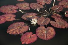 Acqua lilly fotografia stock