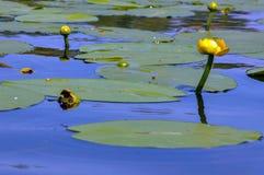 Acqua lilly Fotografie Stock Libere da Diritti