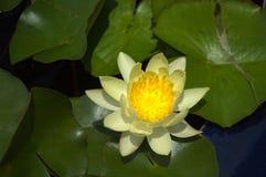 Acqua lilly Immagini Stock
