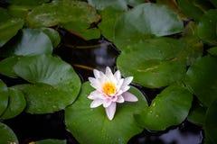 Acqua lilly Immagini Stock Libere da Diritti