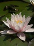 Acqua lilly con la rana Fotografie Stock Libere da Diritti