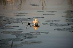 Acqua Lilly con la riflessione in acqua fotografia stock libera da diritti