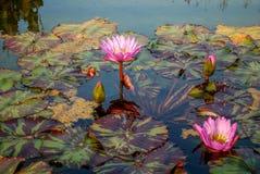 Acqua Lilly in fioritura Fotografia Stock Libera da Diritti