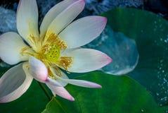 Acqua Lilly in fioritura Immagini Stock Libere da Diritti