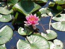Acqua Lilly- le piante acquatiche più belle Fotografia Stock Libera da Diritti
