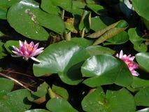 Acqua Lilly- le piante acquatiche più belle Fotografie Stock Libere da Diritti