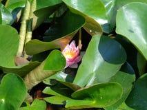 Acqua Lilly- le piante acquatiche più belle Immagini Stock