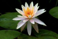 Acqua Lilly, Lotus nello stagno Fotografie Stock Libere da Diritti