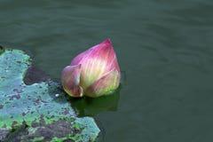 Acqua Lilly, Lotus nello stagno Fotografia Stock Libera da Diritti