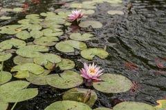 Acqua Lily Lake Immagine Stock Libera da Diritti