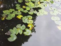 Acqua Lily Lake Fotografie Stock