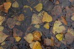 Acqua piovana delle foglie di autunno Immagine Stock