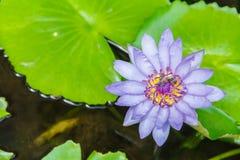 Acqua porpora lilly Fotografia Stock Libera da Diritti