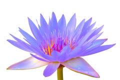 Acqua porpora lilly isolata su fondo bianco Fotografia Stock