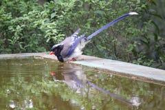 acqua potabile Azzurro-alata della gazza Fotografie Stock