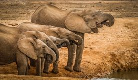 Acqua potabile degli elefanti al foro di acqua Immagini Stock Libere da Diritti