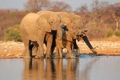 Acqua potabile degli elefanti, Esotha Fotografia Stock Libera da Diritti