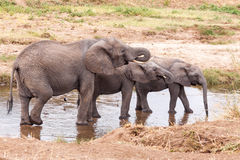 Acqua potabile degli elefanti nel fiume di Tarangire Immagini Stock