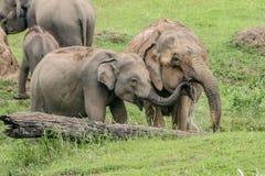 Acqua potabile degli elefanti selvaggi Fotografia Stock