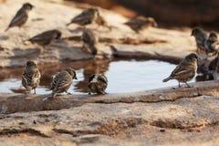 Acqua potabile degli uccelli Immagini Stock Libere da Diritti