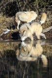 Acqua potabile dei lupi comuni selvaggi Immagini Stock Libere da Diritti