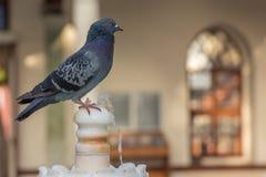 Acqua potabile dei piccioni Fotografia Stock