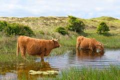 Acqua potabile del bestiame dell'altopiano Immagini Stock
