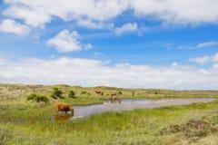Acqua potabile del bestiame dell'altopiano Fotografia Stock Libera da Diritti