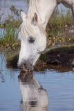 Acqua potabile del cavallo bianco Fotografie Stock